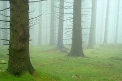 Pine - wood. With fog in backcloth Stock Photography