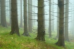 Pine - wood. With fog in backcloth Stock Photos