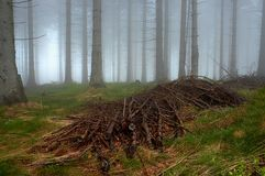 Pine - wood. With fog in backcloth Royalty Free Stock Photos