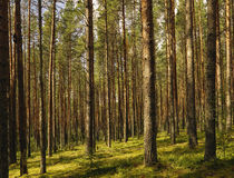 Pine wood. Royalty Free Stock Photos