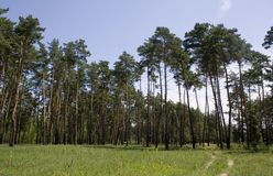Pine-wood Foto de Stock Royalty Free