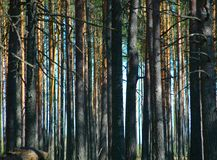 Pine wood. Photo of a dense pine wood in the afternoon Stock Images