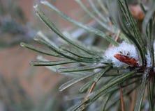 Pine-wood Στοκ εικόνες με δικαίωμα ελεύθερης χρήσης