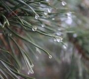 Pine-wood Στοκ Εικόνα