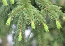 Pine-wood Στοκ εικόνα με δικαίωμα ελεύθερης χρήσης