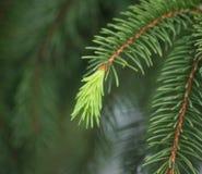 Pine-wood Στοκ φωτογραφίες με δικαίωμα ελεύθερης χρήσης
