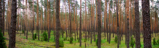 Pine wood Royalty Free Stock Photos