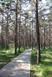 Pine wood and alley. Photo of a dense pine wood in the afternoon Royalty Free Stock Photo