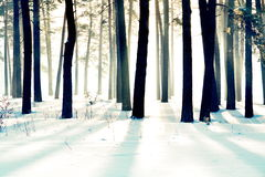Pine wood. Beams of the sun get through the pine wood in the winter Royalty Free Stock Image