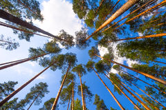 Pine wood and cloud. High pine trees in the summer afternoon Royalty Free Stock Photo
