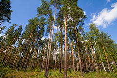 Pine wood and cloud Stock Images
