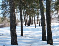 In the pine wood. Deep white snow dropped out Stock Photo