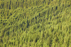 Pine wood forest green background on a mountain hill landscape Stock Images