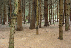 Pine wood forest under trees trunks and thorns on the ground Stock Image
