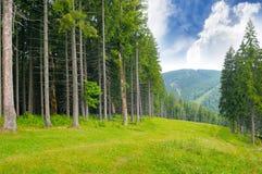 Pine wood on the hillside Stock Photo