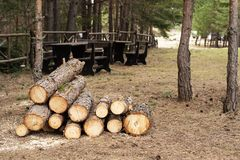 Pine wood logs in forest.  royalty free stock photo