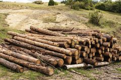 Pine wood logs in forest.  royalty free stock photography