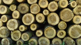 Pine Wood Logs In Large Woodpile. Big pine wood logs laying on a large woodpile in the forest Stock Photo