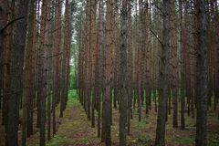 Pine wood, medium density, high strength, resistant to rotting and fungal attack. Well handled stock image