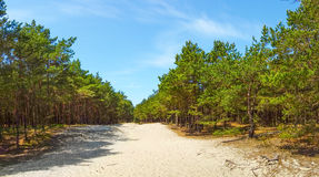 Pine wood on sand dunes Royalty Free Stock Photo