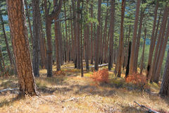 Pine wood on slopes Ah-petri Stock Images