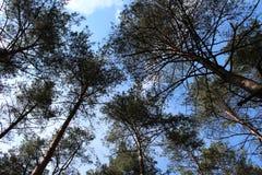 Pine-wood Stock Image