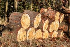 Pine wood stored for the winter. Cut pine. Eco-friendly wood heating. Stock Photo