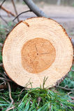 Pine wood tree rings or log. Outdoors closeup. Royalty Free Stock Images