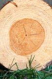 Pine wood tree rings or log. Outdoors closeup. Stock Photo