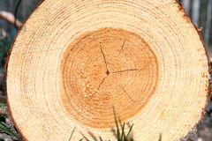 Pine wood tree rings or log. Outdoors closeup. Stock Image