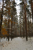 Pine-wood tree trunk in winter forest. Pine-wood tree trunk and bark in winter forest Stock Photography