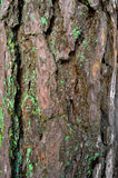 Pine-wood tree trunk in winter forest. Pine-wood tree trunk and bark in winter forest Royalty Free Stock Image
