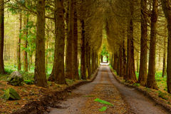 Pine wood and vanishing road. Pine wood with stones, green foliage and vanishing road, Ireland Stock Photo