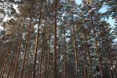 Pine wood in winnter. Photo of a dense pine wood in the morning Stock Photos