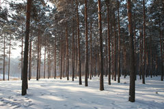 Pine wood in winnter. Photo of a dense pine wood in the morning Royalty Free Stock Photography