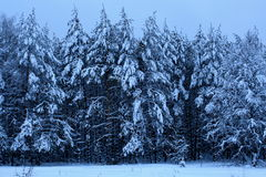 Winter wood forest pine. The pine wood, pine forest — the wood in which forest stand the main forest forming breed is the pine Royalty Free Stock Photo