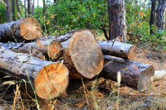 Pine wooden logs in forest Stock Photos