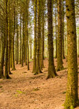 Pine woodland Stock Photo