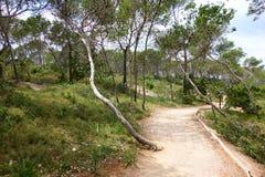 Pine woodland. Path leading through a pine tree on the island of Mallorca, Spain Royalty Free Stock Photo