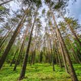 Pine woods Royalty Free Stock Photo