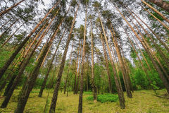 Pine woods Royalty Free Stock Image