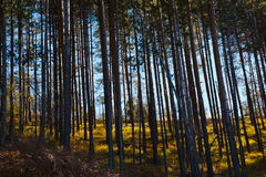 Pine woods Stock Images