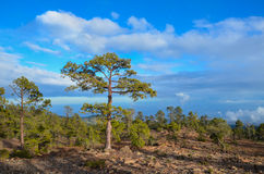 Pine Woods Royalty Free Stock Photography