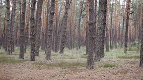 Pine woods grove in the forest.  stock video footage
