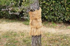 Pine wrapped with weave mat and rope for snow protection. In winter Stock Photography