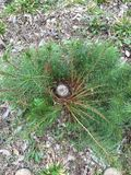 Pine Wreaths. We cut small pine trees at the base. In a few moths we found these wreaths growing everywhere we cut Royalty Free Stock Photo