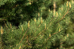 Pine. Young sprouts. Royalty Free Stock Photos