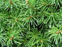 pine1 库存照片