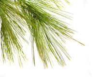 Pine1 Fotos de Stock Royalty Free