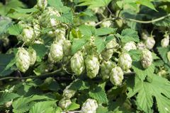 Pineal fruit of common Hop Stock Photo